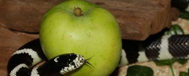 snake with forbidden fruit