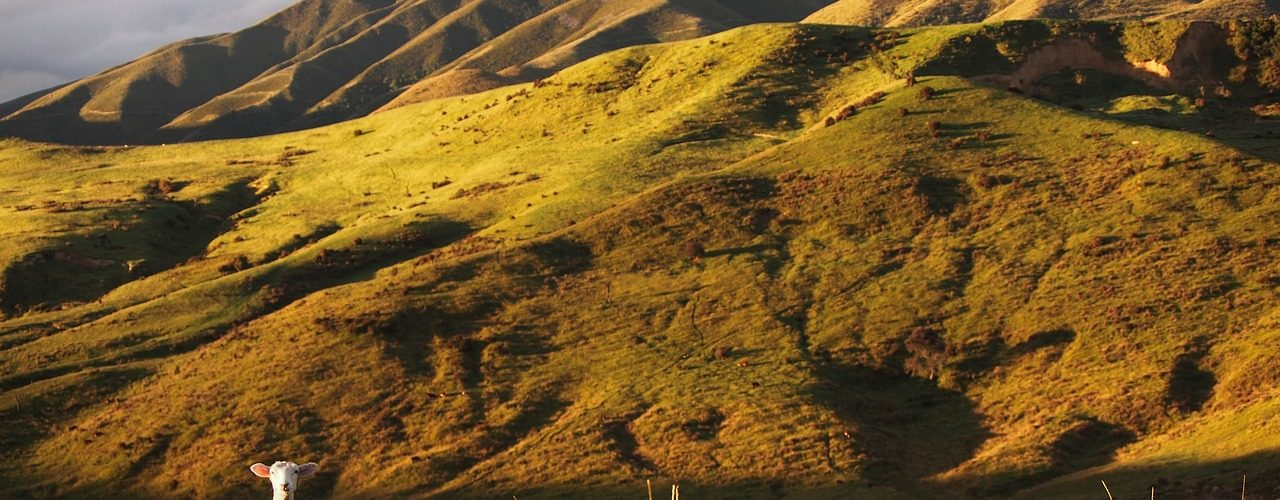 Mountain lamb