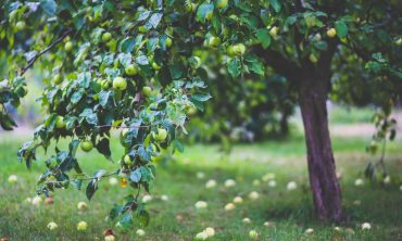 healthy-apple-summer-garden