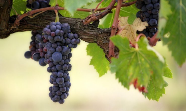 Jesus is the vine, you are a branch
