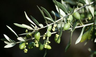 Non-Jewish believers and their place in the olive tree